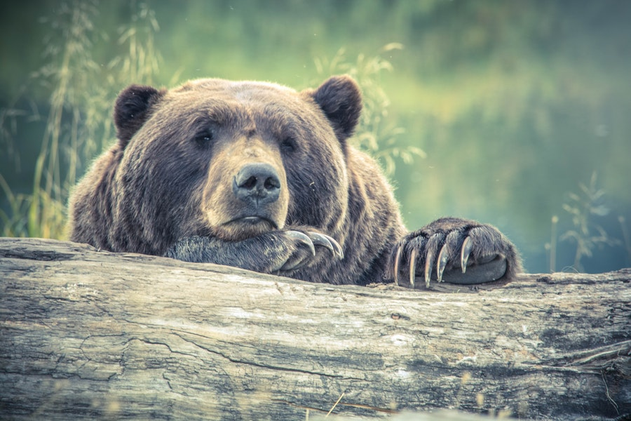 Bear slumped over a log